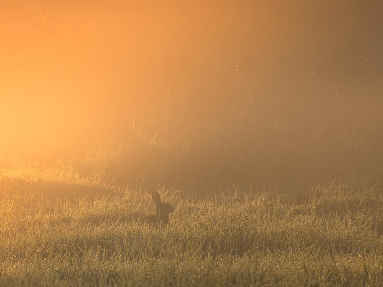 Gouden uurtje - Bij zonsopkomst in de Maasuiterwaarden bleef het konijn gelukkig mooi zitten wat een extra dimensie gaf aan het sfeertje