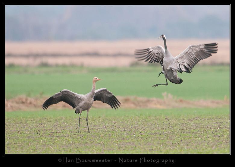 Kranen dans - Terugkijkend op de vele kranenfoto&#039;s welke ik afgelopen november maakte is dit waarschijnlijk wel mijn favoriet.<br /> <br /> De