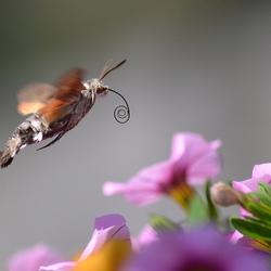 Kolibrievlinder...
