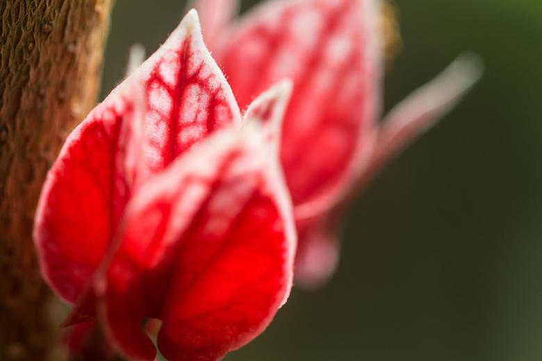 Veins of Life - Opname van een prachte rode bloem. De nerven lijk op een bloedstelsel.