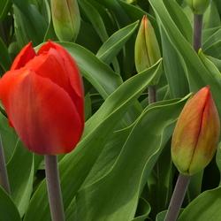 Tulpen in de Noordoostpolder.