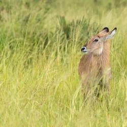 Safari Oeganda