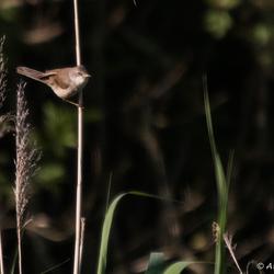 Vogeltje op het riet