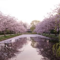 Roze lente reflectie