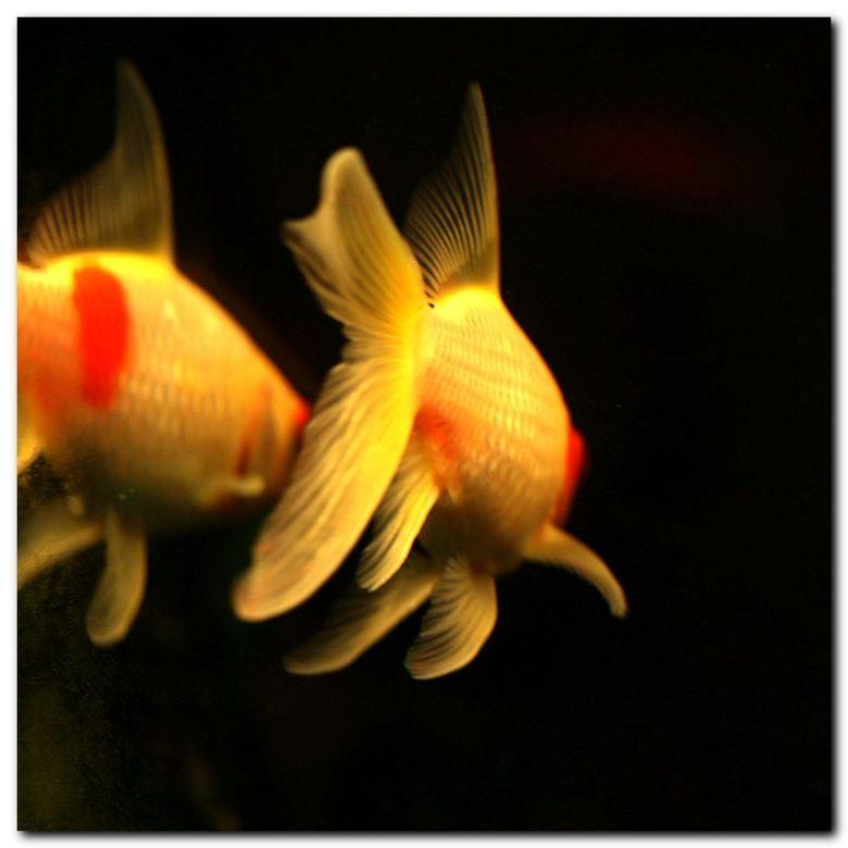 aquariumlicht - Ik ben met mijn toestel voor het aquarium gaan zitten en het licht op de vinnen en de algen spreekt me aan.