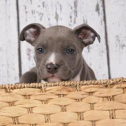 Amerikaanse stafford puppy