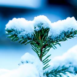 White Chrismastree