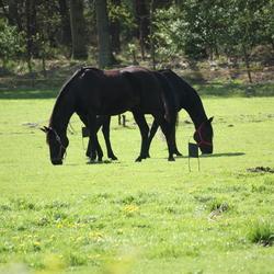 paarden ballet