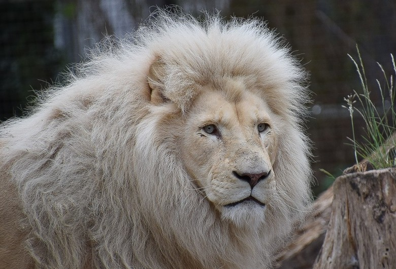 Leeuw - een hele attente leeuw