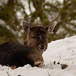 Bambi in de sneeuw