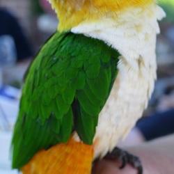 Zwartkop Caique 'Pino'. Papegaaienwandeling bij Piramide van Austerlitz.