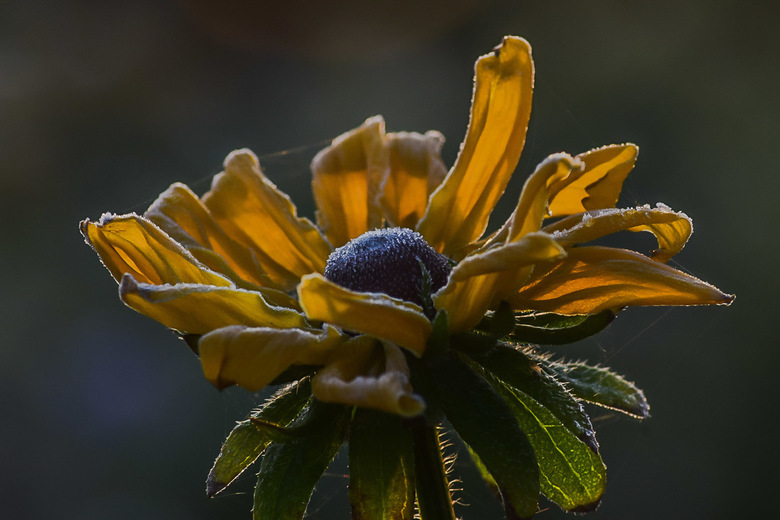 Icy flower  - Een mooi ochtend zon schijnend door het blad schijnend .klein laagje ijs erover voor het winterse plaatje