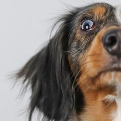 Meet Butler, a cute little dachshund