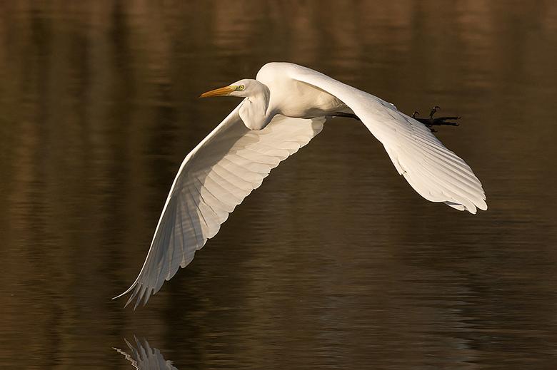 White angel! - Deze Grote Zilverreiger kwam prachtig langsvliegen in het mooi warme licht.<br /> <br /> Iedereen een fijn weekend gewenst en bedankt