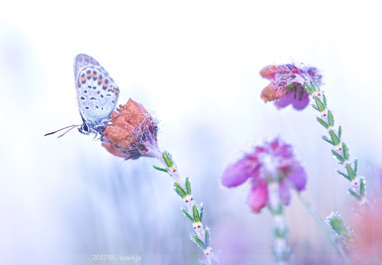 Heideblauwtje - Heideblauwtje, een van de vele bij de Leersumse velden, overbelicht