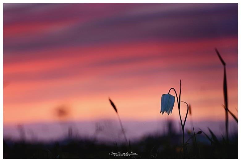 kievitsbloem bij avondlicht