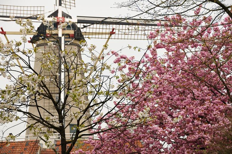 Molen van Buren in het voorjaar - Molen van Buren als de betuwe in bloei staat