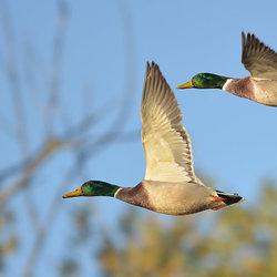 The Flying Ducks.
