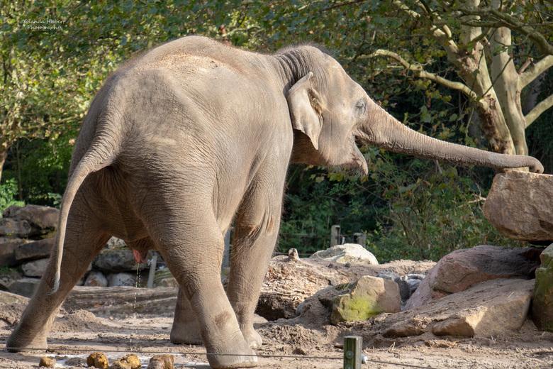 olifant blij dat die geplast heeft - Deze olifant leek wel dat die moest lachen nadat zij geplast had.