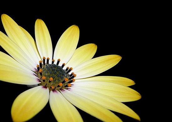 IJsbloempje - Het bloemetje stond in de volle zon. Achter de bloem was een donkere heg in de schaduw. Doordat de camera zijn belichting afsteld op de