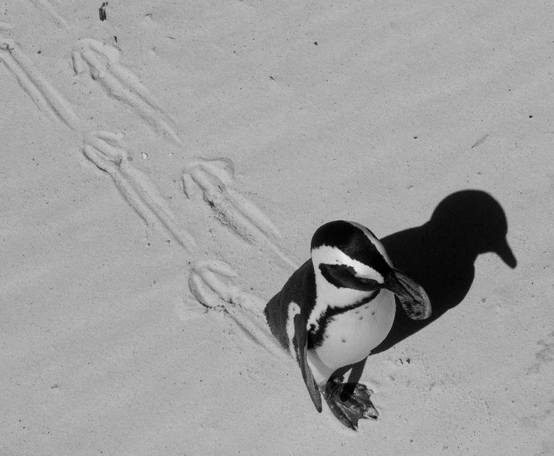 pinguin - pinguin gefotografeerd in Zuid-Afrika, net voor de vulkaanuitbarsting in IJsland...<br /> waardoor we 9 dagen extra &#039;vakantie&#039; mo
