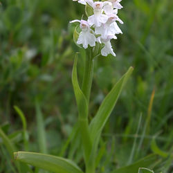 Bede Orchis, witte variant