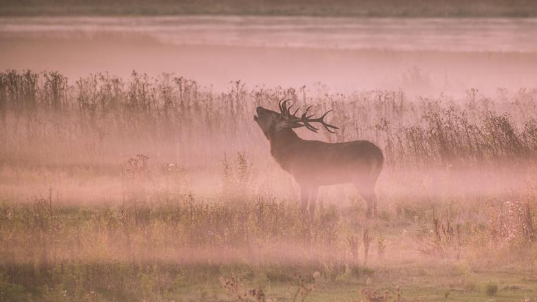 Rutting Red Deer (Burlend Hert) - Een burlend Hert op de vroege ochtend