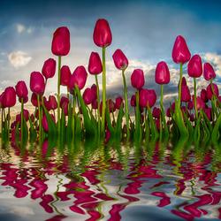 Tulpen uit Brabant