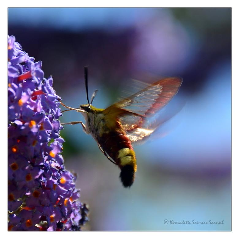Glasvleugelpijlstaart - Deze glasvleugelpijlstaart (Hemaris Fuciformis) is zeker zo snel als de kolibrievlinder. Maar ook deze schoonheid heb ik in mi