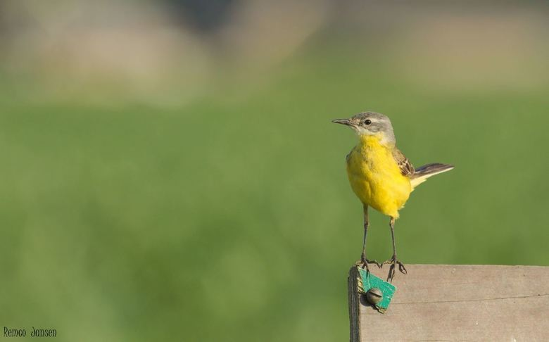 gele kwikstaart - gisteren weer een poging gedaan om de gele kwikstaart te fotograferen met dit als resultaat.<br /> (gefotografeerd vanuit de auto)