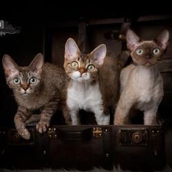Devon Rex trio