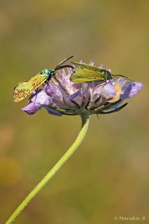 geen metaalmoeheid - Een paartje metaalvlinders (Adscita geryon) 's morgensvroeg. Nog maar net opgewarmd, de dauw is nog niet eens opgedroogd. He