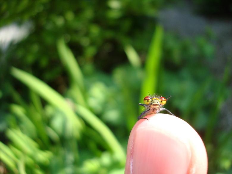 Hi - vuurlibelle op mijn vinger