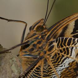 Uilvlinder (Caligo sp.)