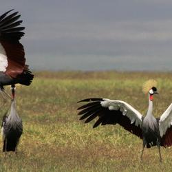 Batsende kronkraanvogels