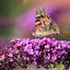 Etende van de vlinderstruik