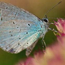vlinder op Selum