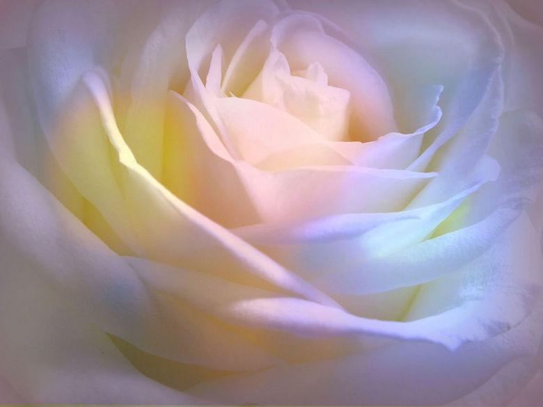 "Multi coloured Rose. - """