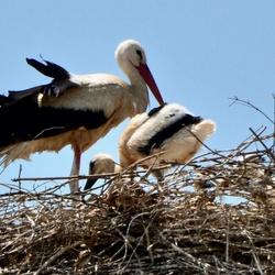 Ooievaar op het Nest 2
