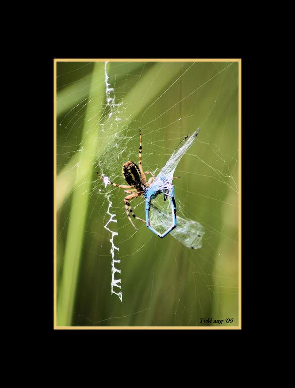 spin met prooi,smakelijk eten - Vrijdag deze foto geschoten.Vond het eigenlijk best smerig om te zien.Niet om de spin want die vind ik geweldig maar h