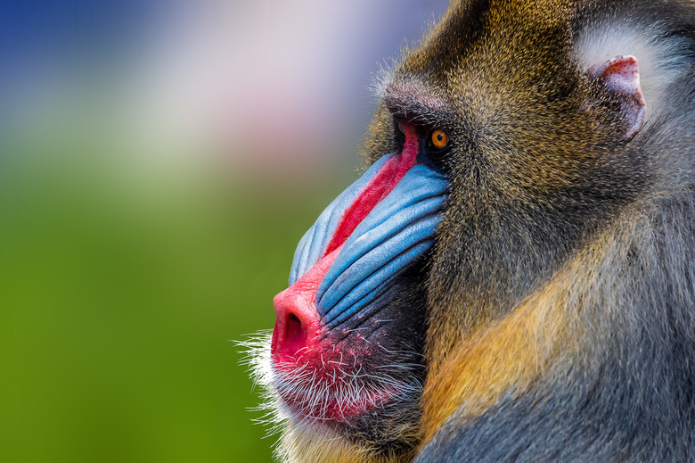 Mandril - Deze mandril kijkt zeer gespannen naar zijn harem. Hij is wel de kleurrijkste in de apenfamilie.
