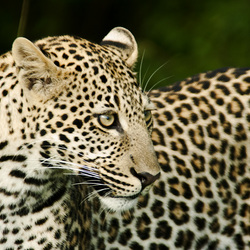 Close-up van een luipaard