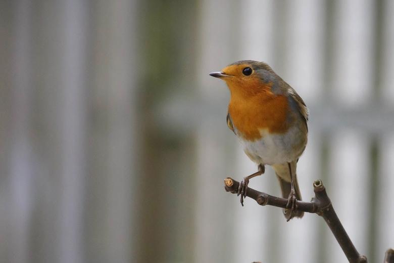 Robin-roodborstje (Erithacus rubecula)-7 - Wanner het weer niet is om naar buiten te gaan, plaatsen we wat voer en het geluid van de Roodborst of ande