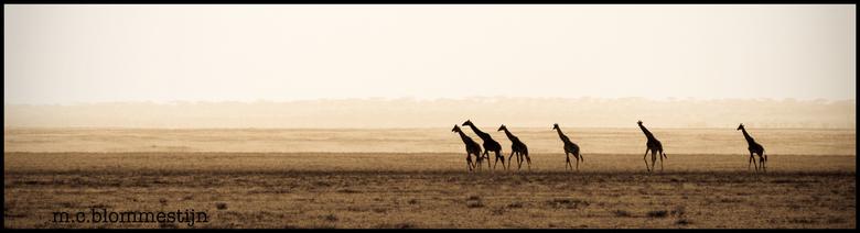 Giraffe Panorama - Genomen op safari