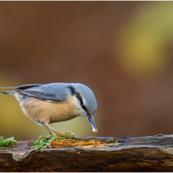 Boomklever - Nuthatch 131215