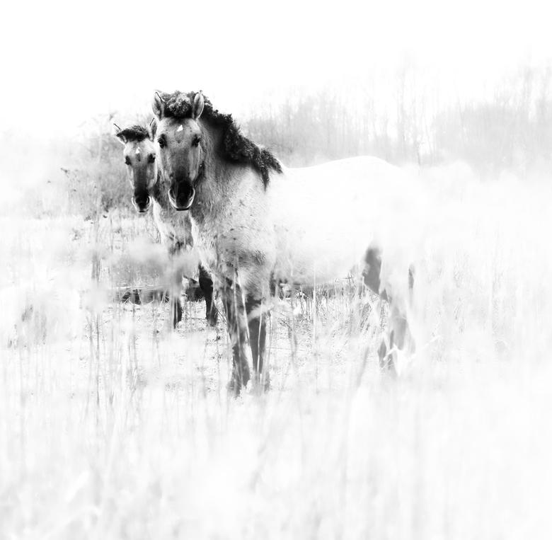 bw wilde paarden carina meijer lumix s1 P1009117 - Deze hengst en merrie hielden mij goed in de gaten, het veulen lag nog lekker uit te slapen want he