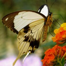 Papilio Dardanus (page-familie)