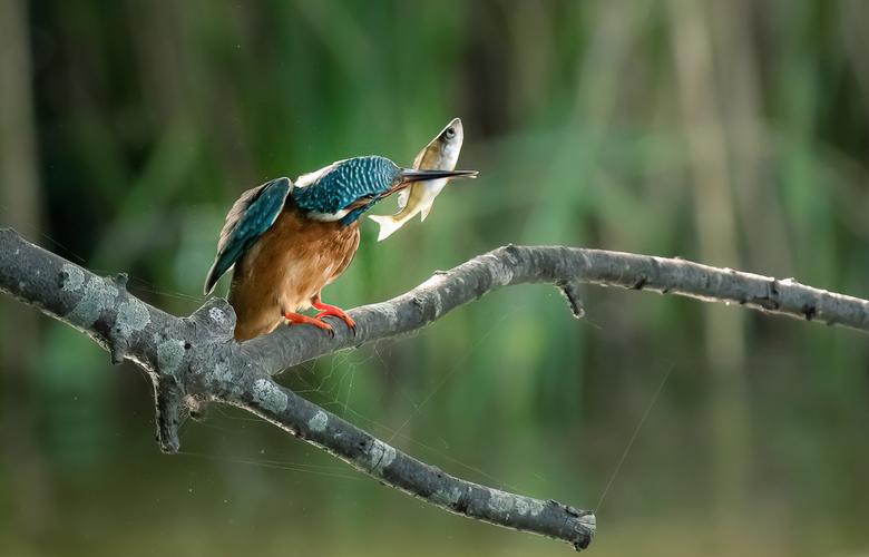 Ijsvogel met visvangst - Ik zat vlak voor een wand waar de ijsvogel jongen heeft. Iedere keer kwamen het mannetje en vrouwtje aanvliegen met een visje