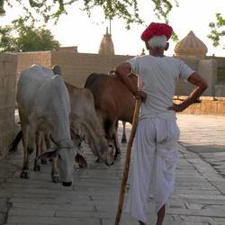 India & de Heilige koeien