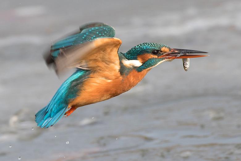 Gevangen in vlucht! - Vorige week deze Ijsvogel in vlucht met mijn camera kunnen vangen.<br /> <br /> Iedereen een fijn weekend gewenst en bedankt v